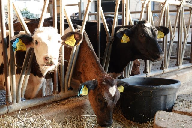Three cows in pens