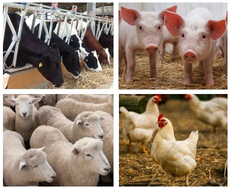 An image showing a collage of different farm animals.  On the top left corner of the image there are cows eating straw, the top right corner shows two piglets on straw, the bottom left corner of the image shows a herd of sheep whilst the bottom right corner shows three chickens in a barn.