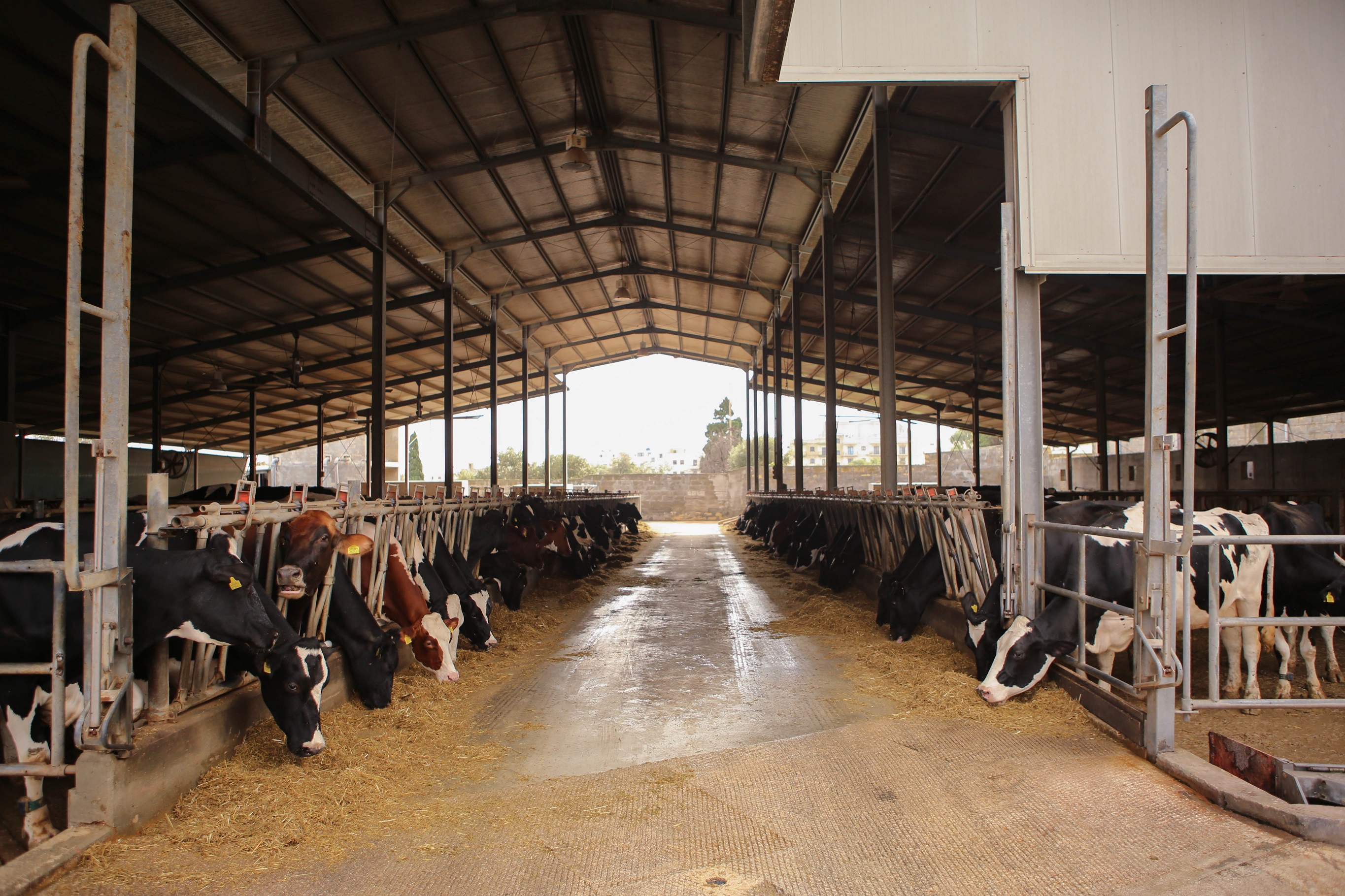 A cow shed with all the cows are aligned and eating