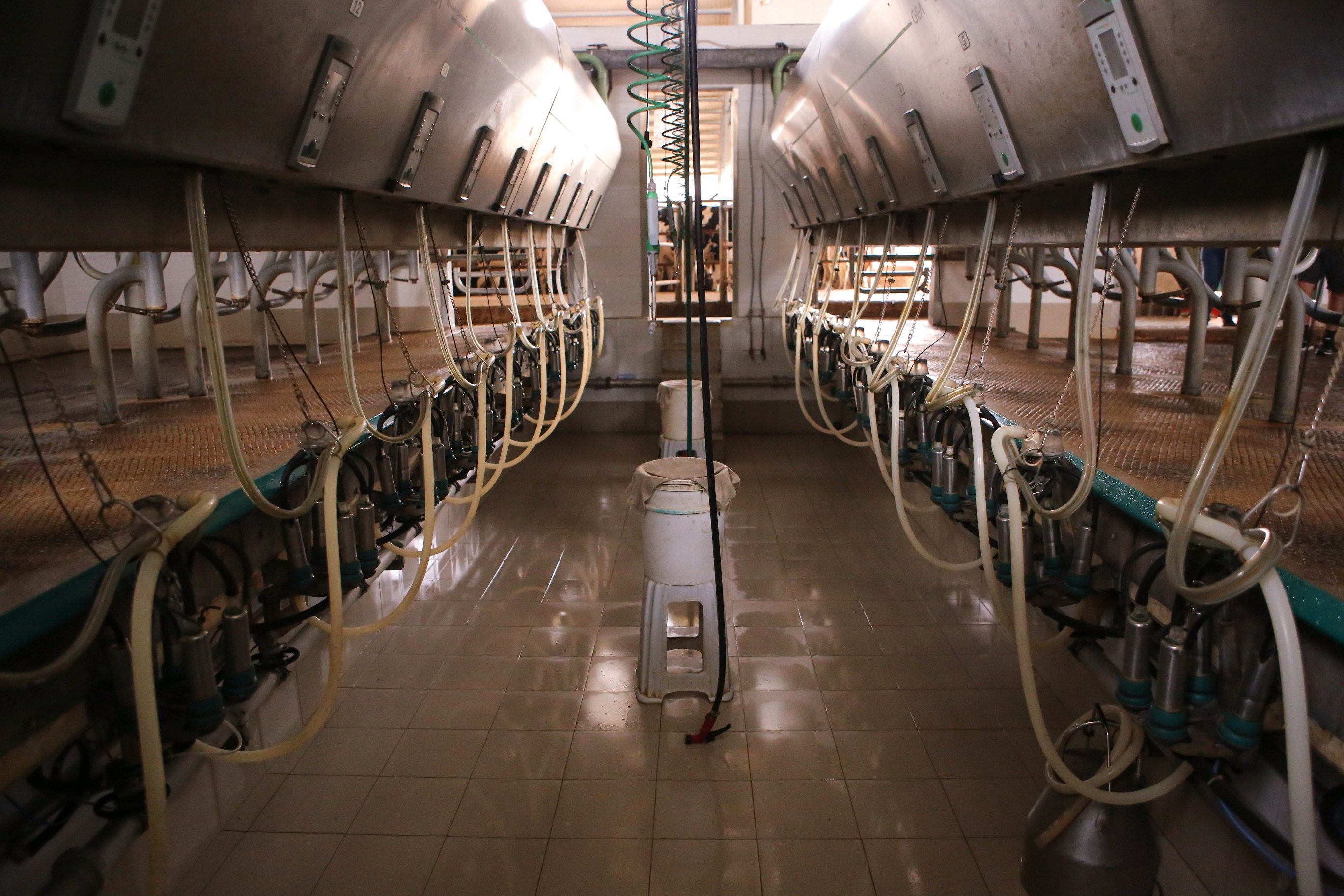 Image of a milking parlour, where cows are milked every day
