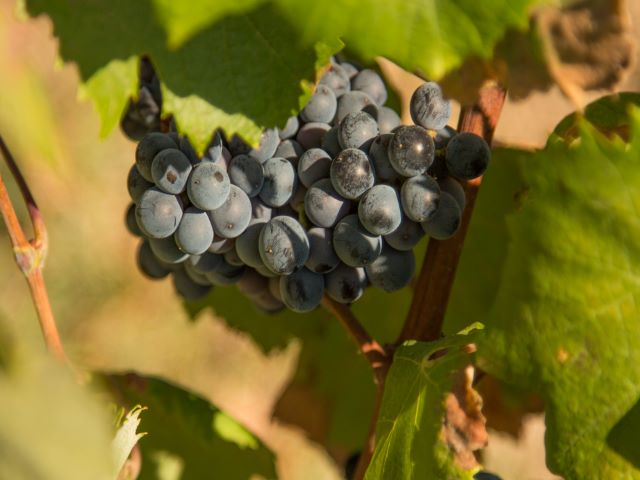 Close up of grape vines with red grapes