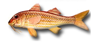 Striped red Mullet